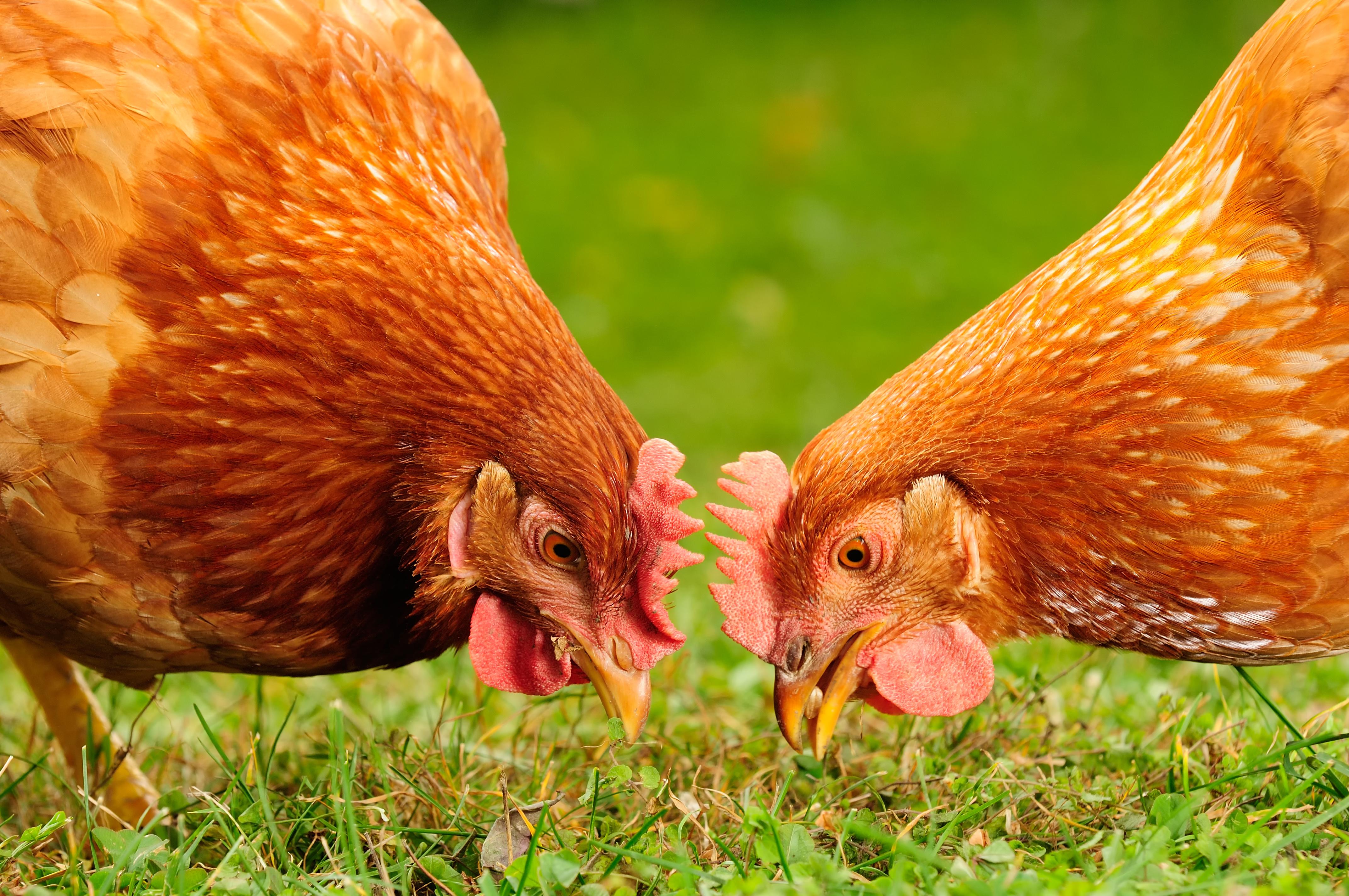 Mettre Des Poules Dans Son Jardin la permaculture : les bienfaits des poules dans le jardin